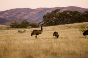 Emus at Arkaba