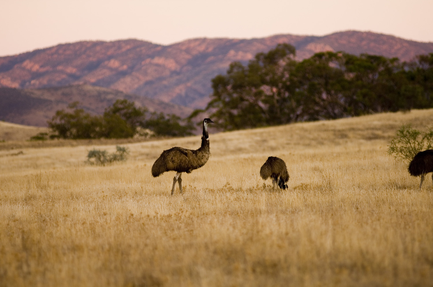 Emus at Arkaba