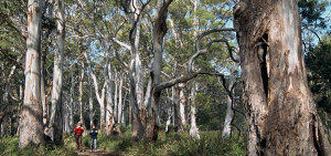 Walking in the blue gum forests - the Arkaba walk, Flinders Ranges South Australia