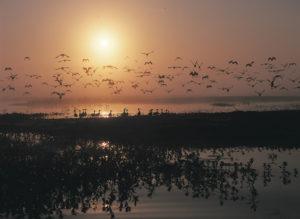 Magpie Geese on the floodplains of Bamurru Plains