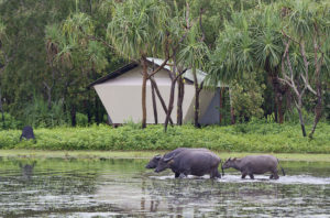 Water buffalo stroll past a bungalow at Bamurru Plains