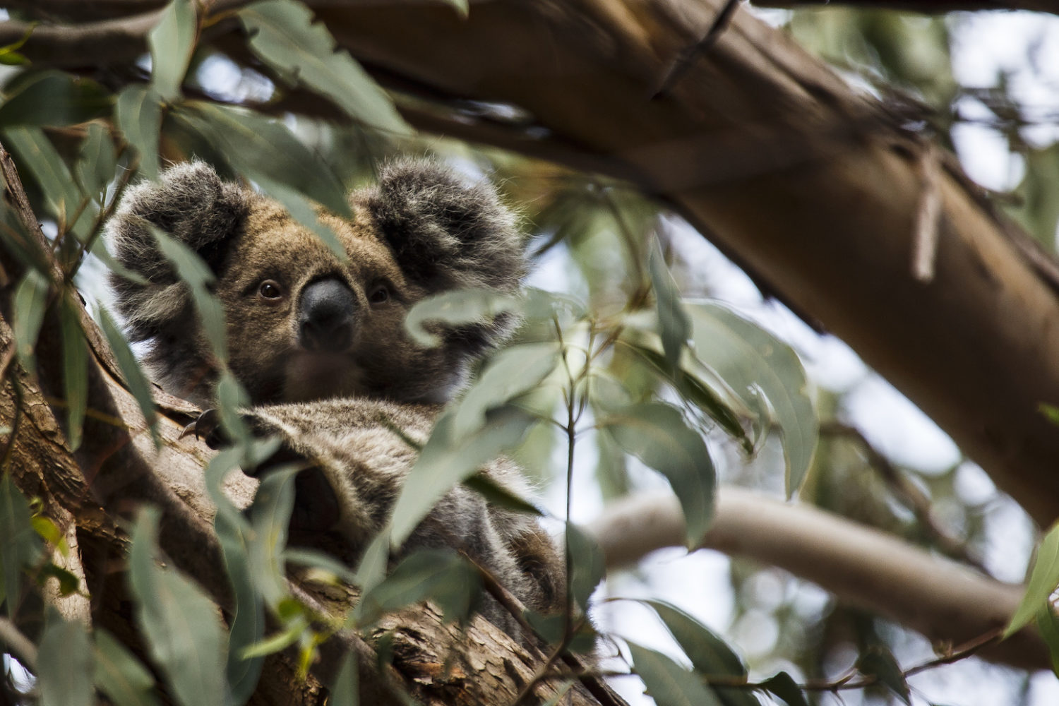 One of the unique and exclusive Australian experiences is seeing a koala on Kangaroo Island