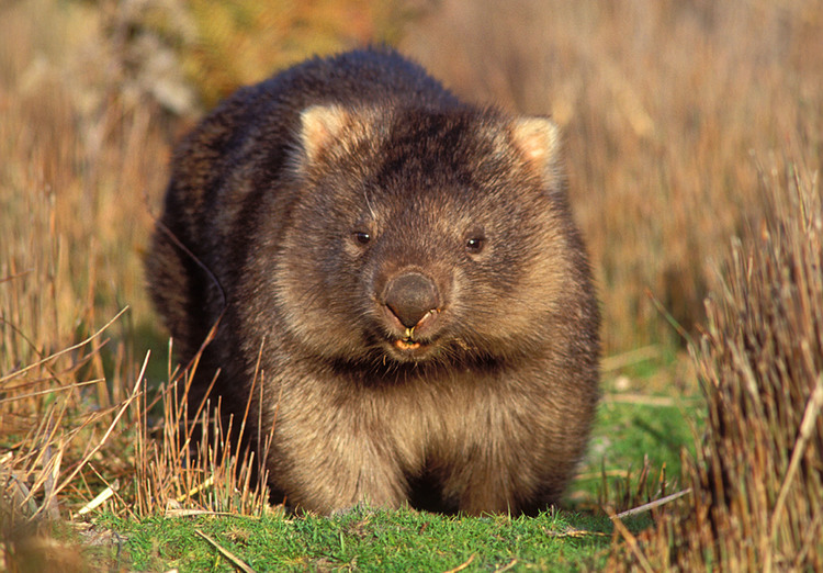 A cute Common Wombat seen on the Maria Island Walk
