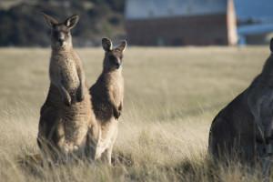 Friendly Eastern Grey Kangaroos seen on the Maria Island Walk