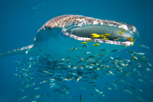 Whale Shark swimming at Ningaloo Reef