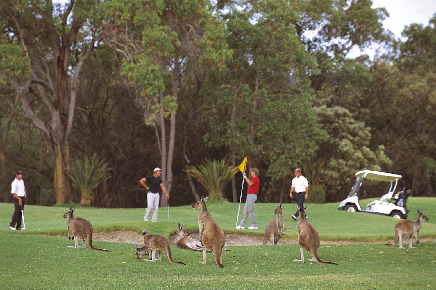 One of the unique and exclusive Australian experiences is golf with Kangaroos