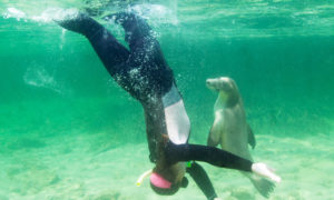 Swim with curious sea-lions at Baird Bay