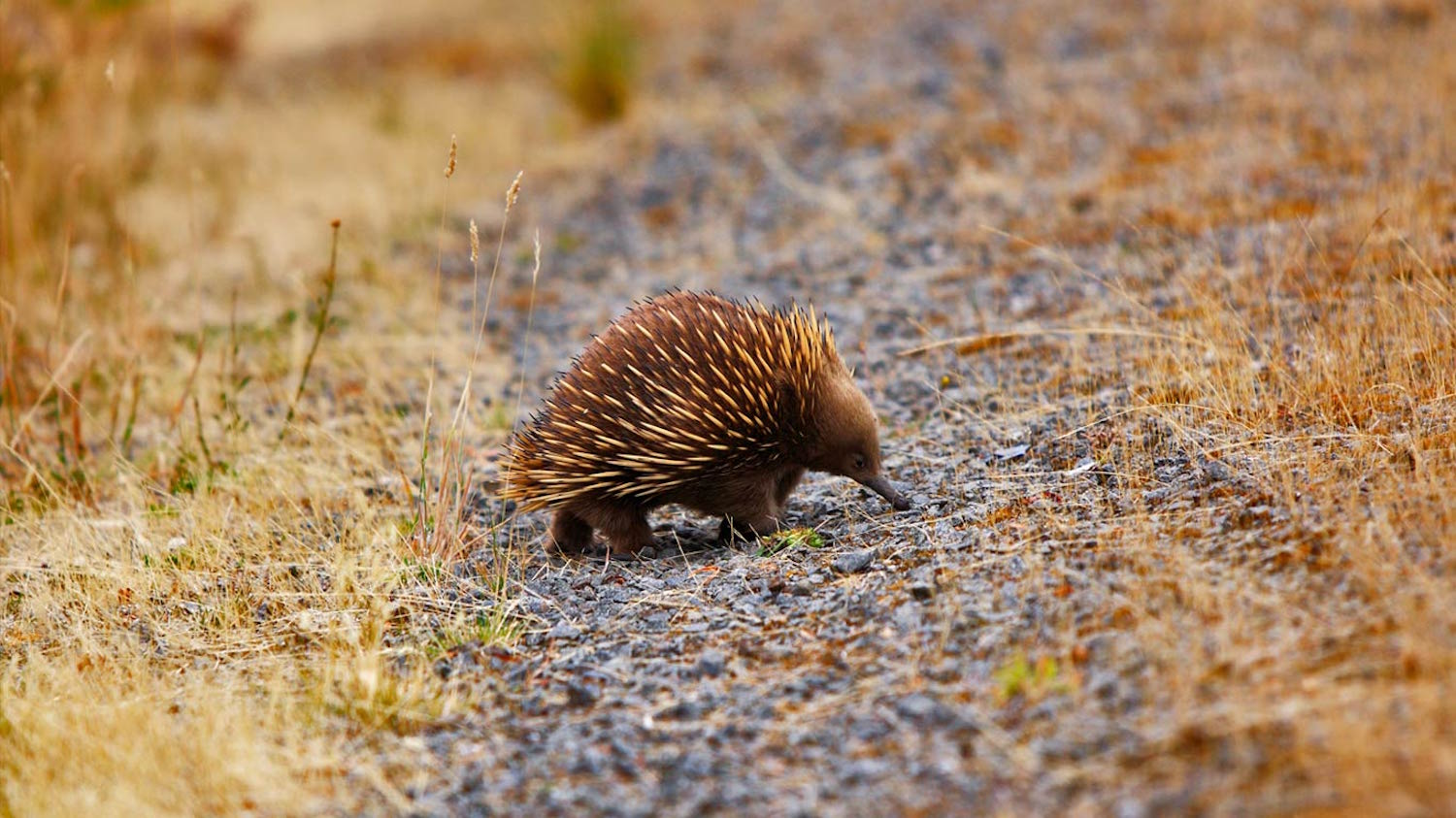 Australia's echidna can be seen on a family vacation in Australia