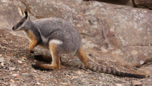 A yellow-footed rock-wallaby Image credit: Scott-Francey