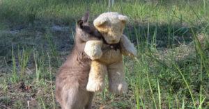 Orphaned Kangaroo and teddy bear