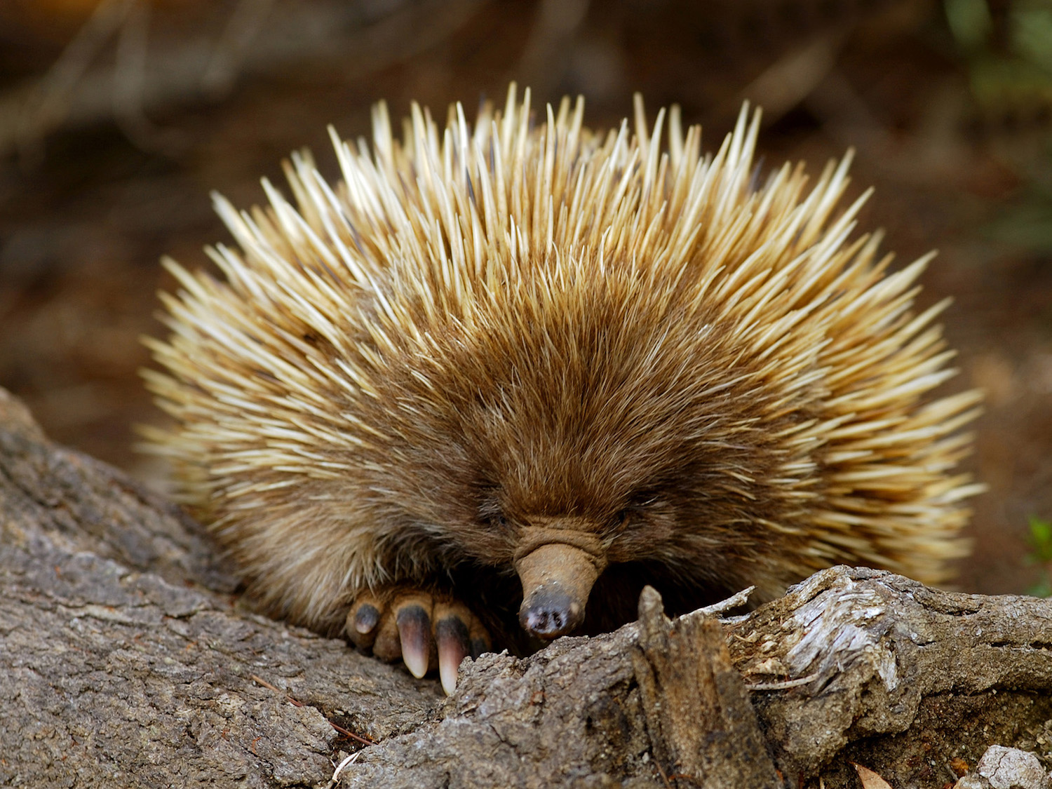 Visit an ecotourism project for the Short-nosed Echidna on Kangaroo Island, South Australia