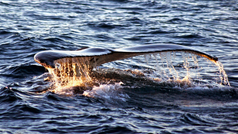 Swim with the Humpback whales at Sal Salis