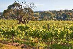 Fleurieu vineyards