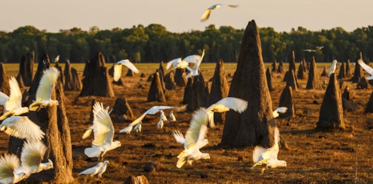 Cockies at Bamurru Plains