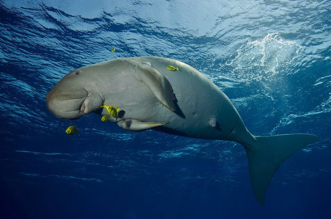Dugong - Image credit: National Geographic