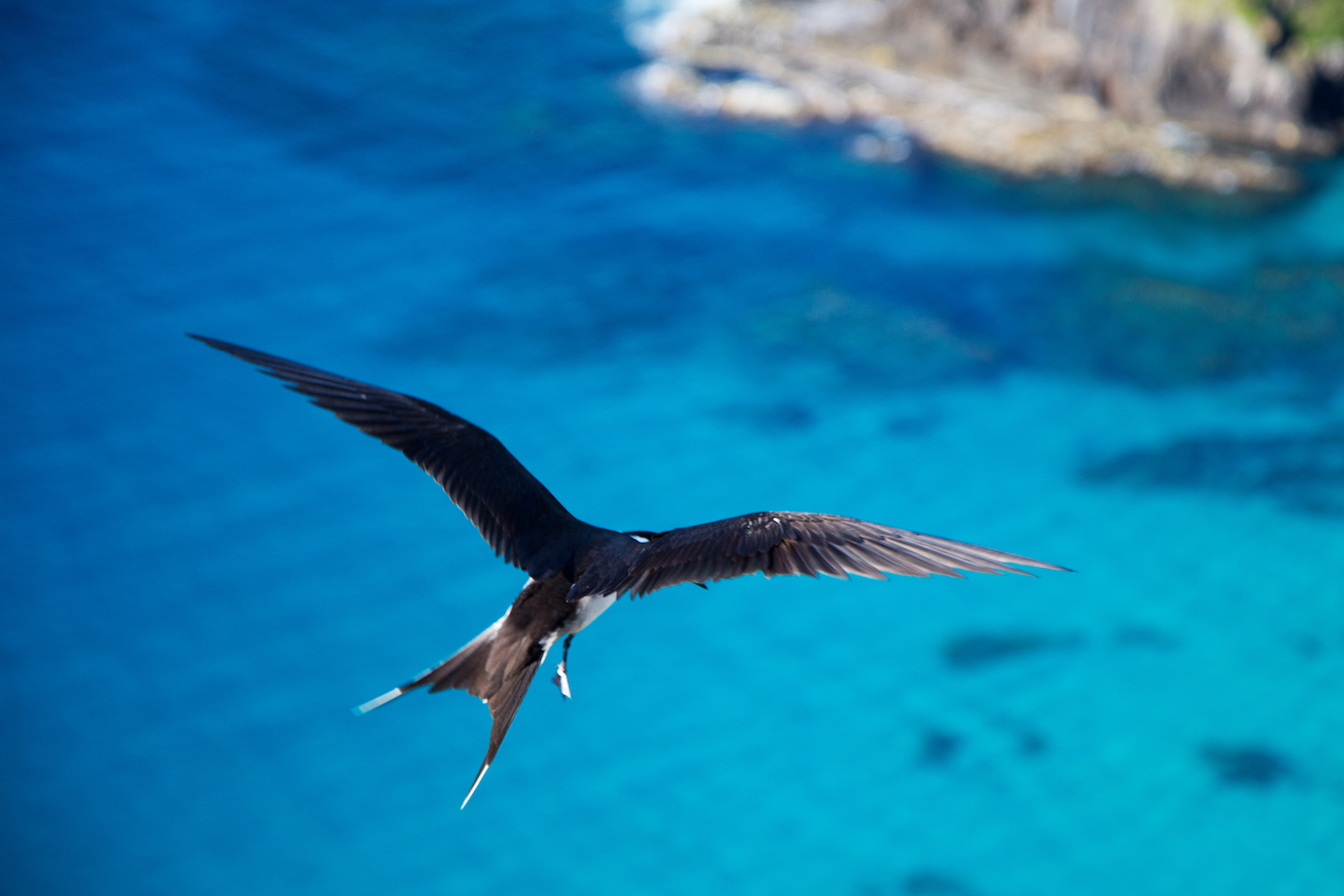 Sea-birds abound on Lord Howe Island