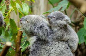 Female koala and her baby