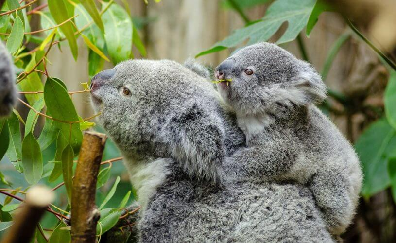 Female koala and her baby
