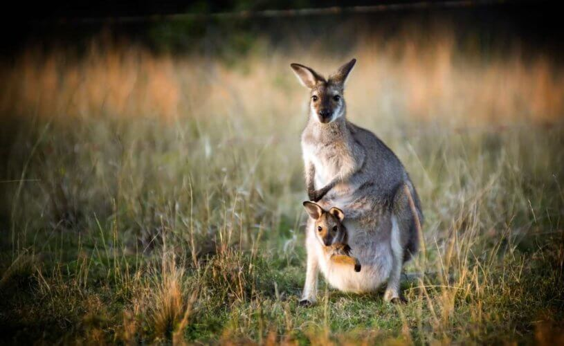 Baby Australian animals - kangaroo and joey