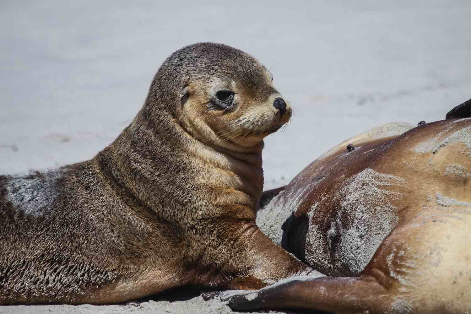 Baby Australian Animals - baby seal on Kangaroo Island