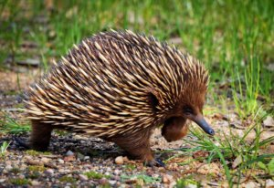 Baby Australian Animals -echidna