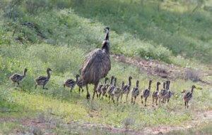 Baby Australian Animals - emu chicks