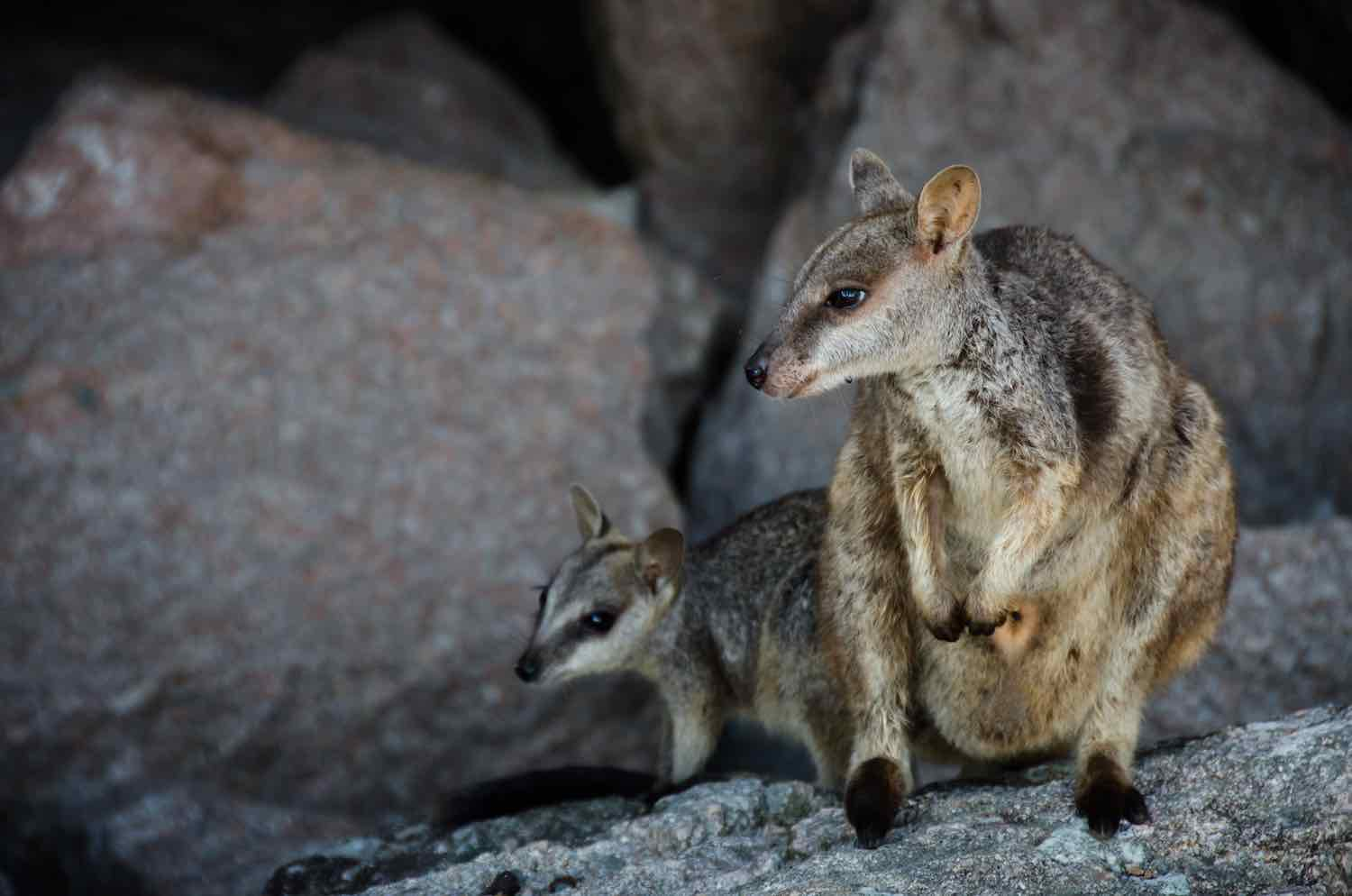 Baby Australian animals - Yellow footed rock wallaby