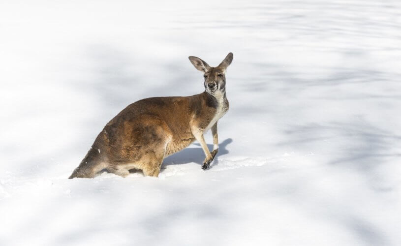 Kangaroos at the snow? Take a day trip to Australia's High Country.