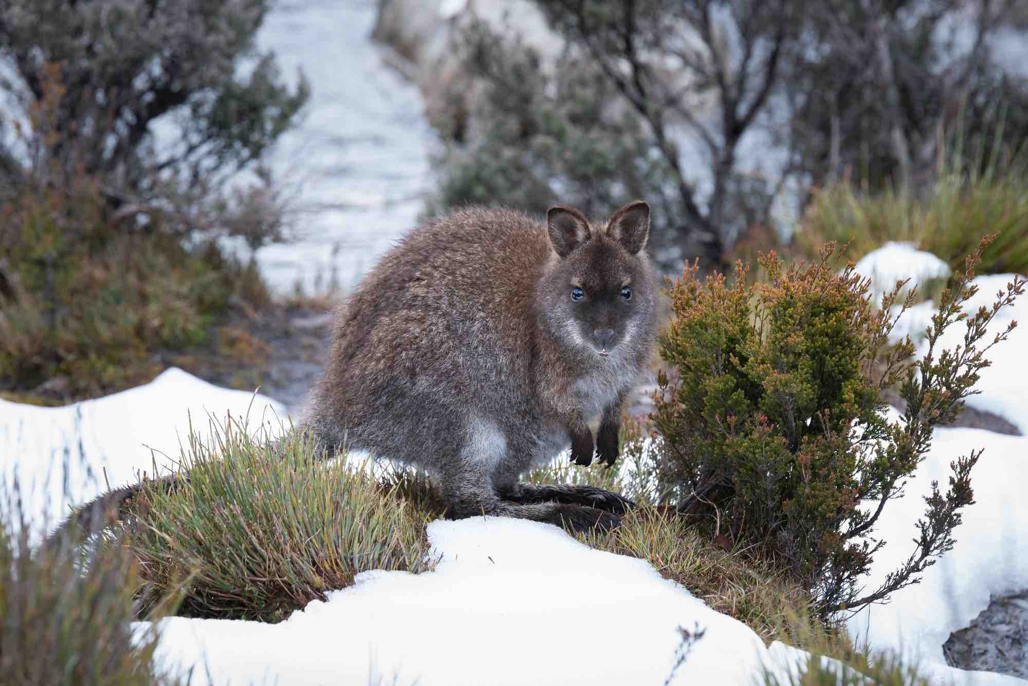 A wallaby in the snow in Australia