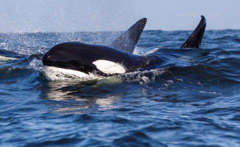 Killer Whales & Kangaroos