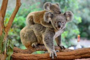 Tree planting for koalas