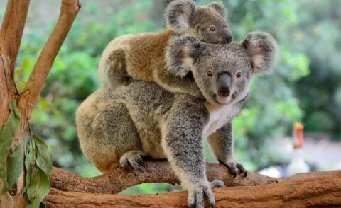 Volunteer tree planting for koalas